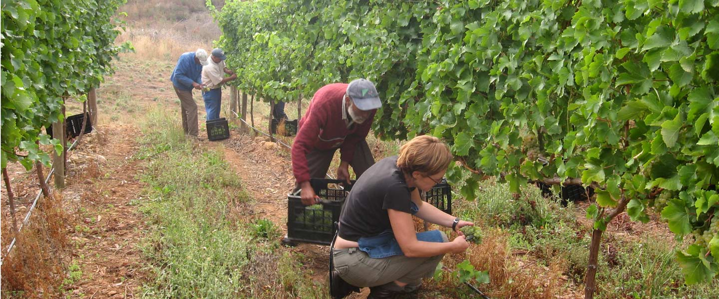 Picture of people picking grapes by Newton Wines